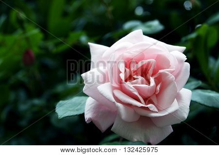 Opened a large bud of pale pink roses.