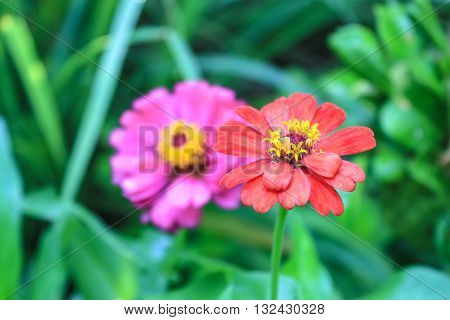 Zinnia bloom bouquet of on the background of nature.