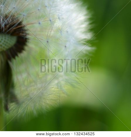 Macro seeds overblown dandelions on a spring meadow