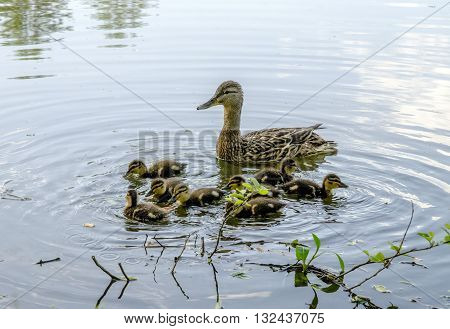 wild duck and little ducklings on the lake in the woods