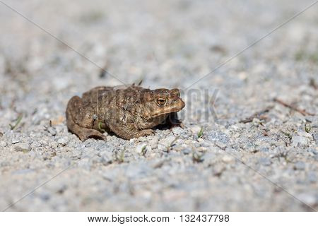 Portrait of a toad in spring on the rocks