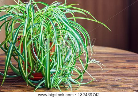 Chlorophytum in white flowerpot on wooden background . Ornamental plants in pot /Variegatum,comosum. Spider Plant