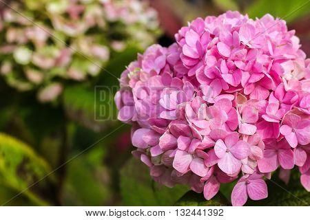 Purple Hydrangea flower (Hydrangea macrophylla) in a garden.