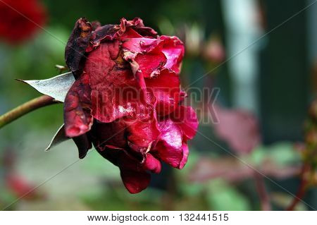Big bud red rose with wilted petals