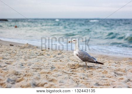sea gull standing on his feet on the beach. seagull walking by the beach.