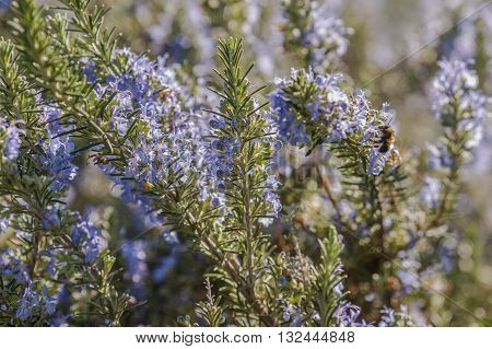 Rosemary plant closeup with blue flowers in full bloom.