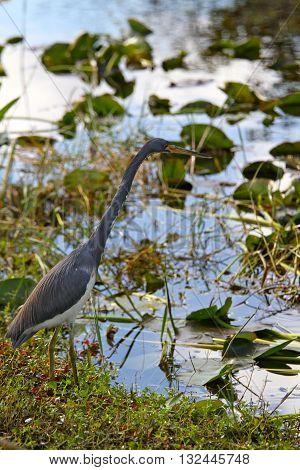 A black héron , swamp of Everglades , Florida , USA