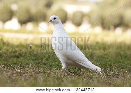 белый голубь прогуливается по зеленной траве в солнечный день