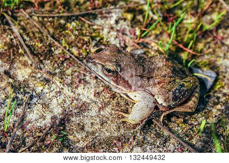 Frog (Rana temporaria). European common brown frog, or European grass frog, is a semi-aquatic amphibian.