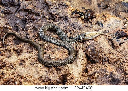 European grass snake (Natrix natrix) feeding on a dead fish on the river bank. Masculine reptile.
