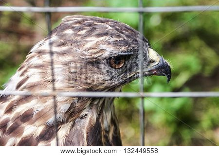 Eagle in a cage. Sad eagle. Sad hawk. Sad bird. Sadness. Eagle in cage. Bird in cage. Captured wildlife. Buzzard.