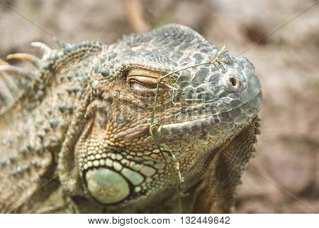 Grand Cayman Blue Iguana, an endangered species of lizard. Portrait of green iguana. Iguana wildlife. Closeup of a green Iguana. Green Iguana Reptile.