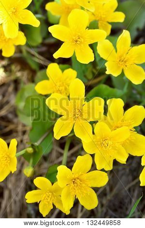 Marsh Marigold (Caltha palustris) flowers close up view