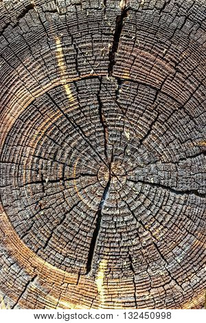 Wood texture of cut tree trunk, close-up. Cross section of tree trunk showing growth rings. Abstract texture of tree stump, crack wood ancient. Selective focus.