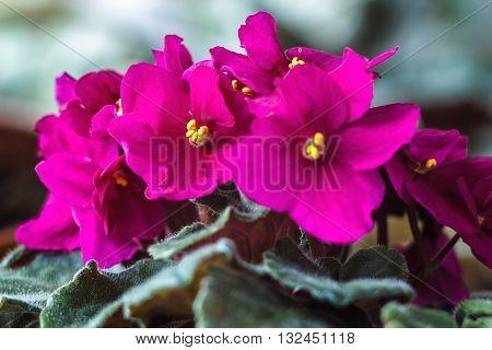 African violet (pink saintpaulia ionantha) houseplant closeup.