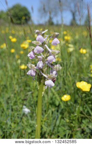 Green-winged Orchid - Anacamptis morio Pink form in meadow of Buttercups