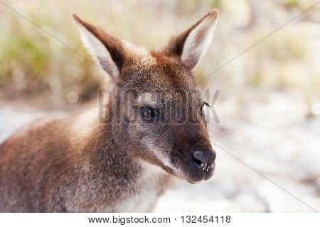 Bennetts Wallaby Tasmania