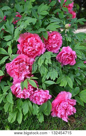 Peony Bush With Filled Pink Blossoms