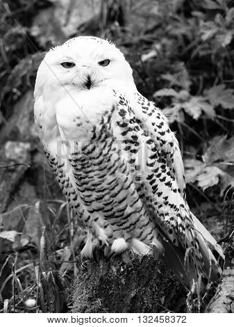 Snowy owl, Bubo scandiacus, sitting on the tree stump . Black and white image.