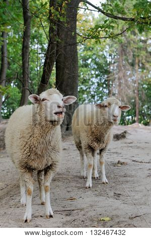 Sheep close up on a background of the forest