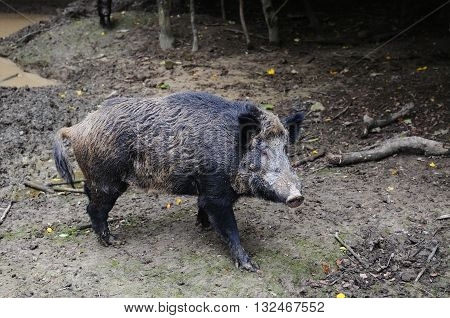 Wild boar in autumn forest close up