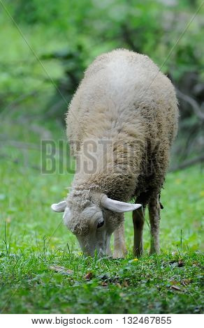 Portrait woolly sheep standing in green field