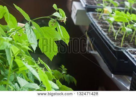Cosy balcony garden closeup - raspberry and seedlings in cassettes