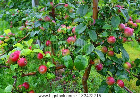 Red apples in orchard after rain in august in Aland Islands Finland.