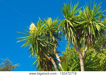 Palm trees with blossoms in Granada Andalusia Spain.