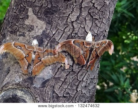 Two motley brown butterfly on the tree