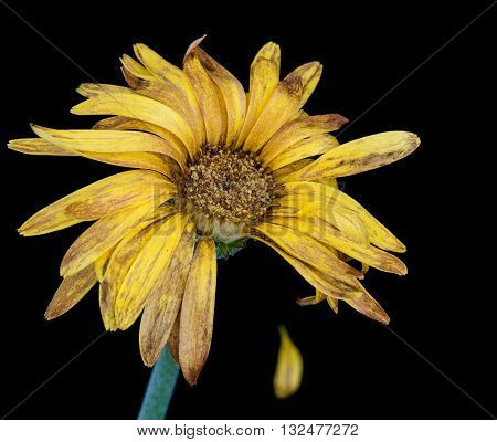 Beautiful Yellow dahlia withered flower isolated on a black background. Concept of nostalgia melancholy and even death.