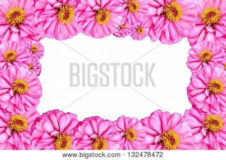 pink Zinnia angustifolia flower on white background