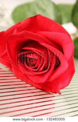 Close-up of a large Red rose. Background