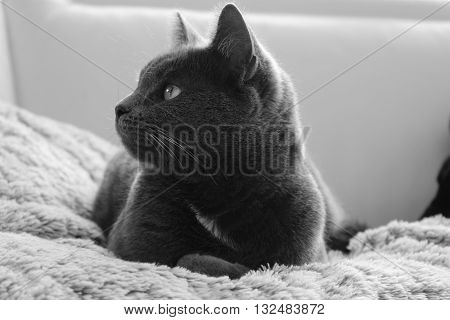 THE GREY PUREBRED CAT LENGTHENED ON ITS COVER