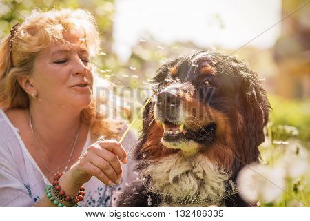 woman playing with bernese mountain dog sitting in dandelions toned image