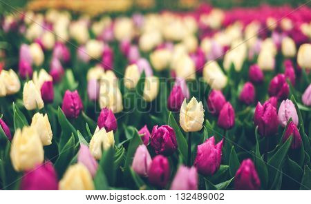 Tulips. Beautiful Multicolored Flowers In Spring Park, Floral Background. Vintage