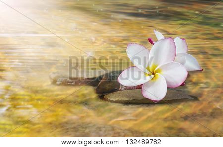 White Pink And Yellow Fragrant Flower Plumeria Or Frangipani On Crystalline Water And Pebble Rock Fo