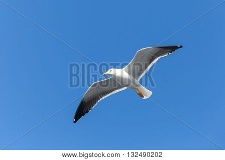 Great Black-backed Gull. White Seagull In Sky