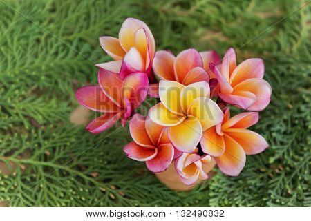 Frangipani Or Plumeria Flowers In Small Vase On  Fresh Green Pine Leaf Background With Copy Space, C