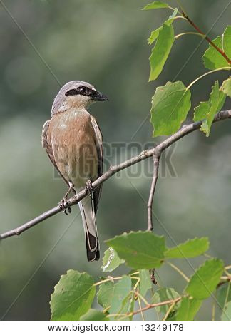 Red - backed Shrike ( Lanius collurio )
