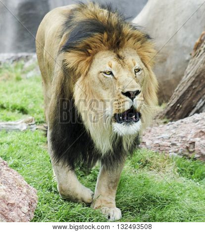 A Male Lion Panthera leo Roaring Very Loudly