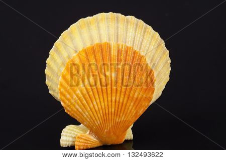 some colorful seashells of mollusk isolated on black background close up