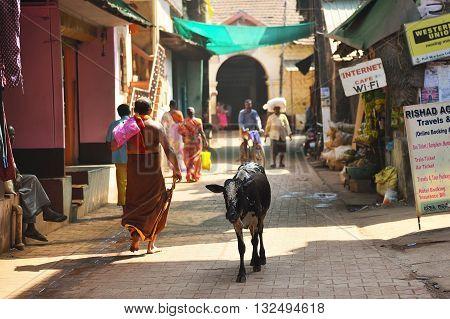 GOKARNA KARNATAKA INDIA - JANUARY 29 2016: Indian cow walking through the streets with people in Gokarna city