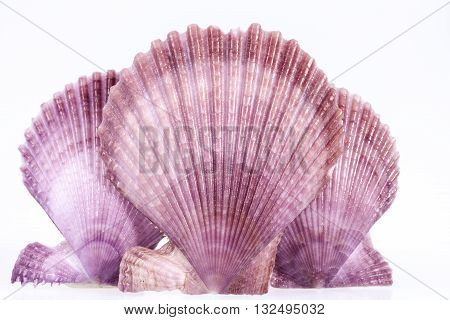 some colorful seashells of mollusk isolated on white background.