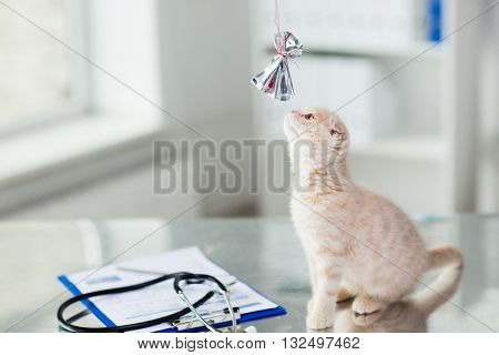 medicine, pets, animals, cats and health care concept - close up of scottish fold kitten playing with bow on table at vet clinic