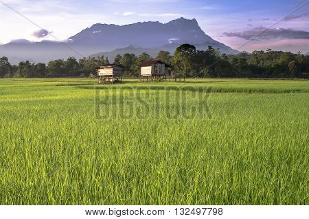 The majestic mountain Kinabalu during sunrise with beautiful landscape view of paddy field in Tambulion village Kota Belud,Sabah,Borneo. One of the highest mountains in ASEAN standing at 4095.2 metres