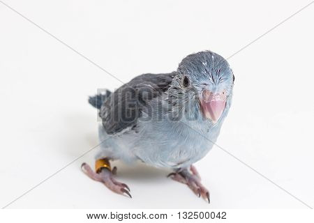 Mauve Forpus's Chick