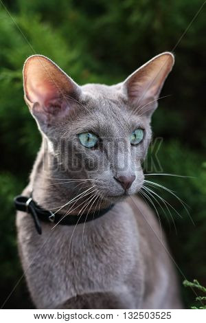 Graceful grey Oriental Oriental cat with big ears a big plan. Next to the conifers.