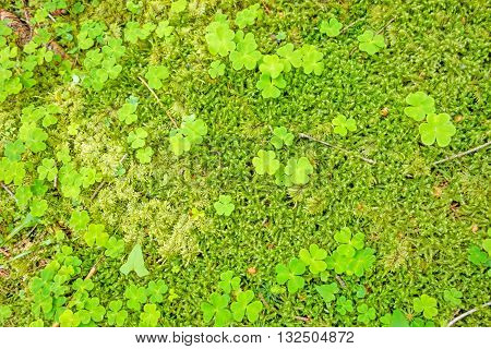 Forest Floor With Trefoils