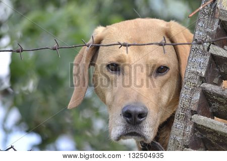 lop-eared dog with sad eyes looking out from behind the barbed wire